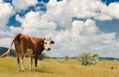 brown cow grazing at summer sunny meadow poster