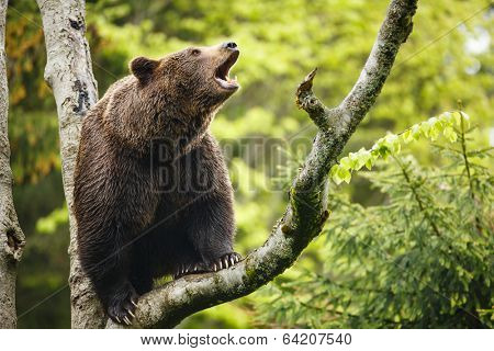 Brown bear (Ursus arctos), sitting on a tree, screaming loudly