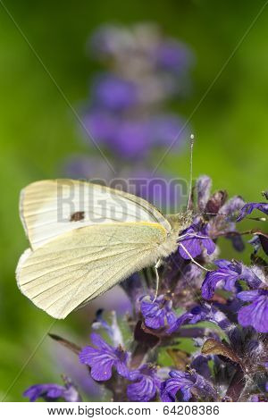 Cabbage Butterfly Closeup On A Blue Flower. Vertical