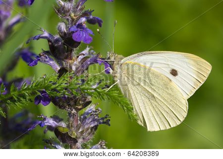 Cabbage Butterfly On A Blue Flower. Macro Horizontal