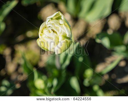 Close-up of white tulip