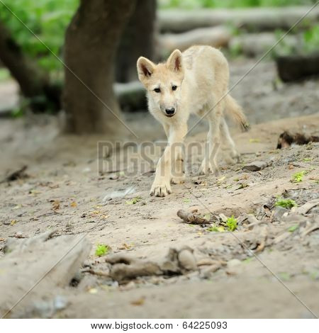 Baby artctic wolf pup in summer forest poster