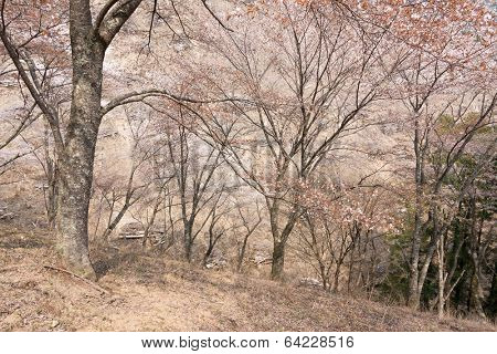 Cherry blossom scenery with beautiful sakura at Oku-Senbon of Yoshino, Nara, Japan, Asia. poster