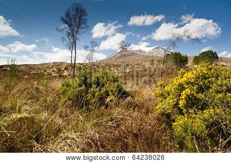 Gorse Bush On Mountain Approach