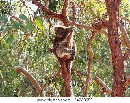 Koala, Phascolarctos Cinereus, Australia