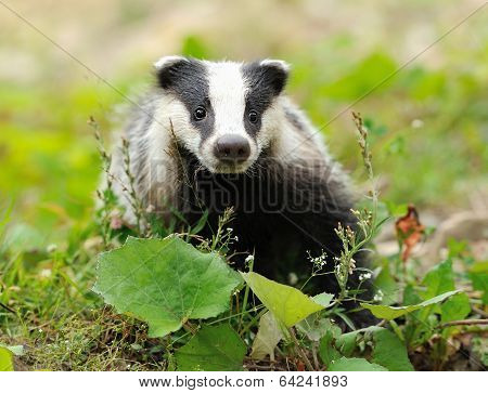 Badger near its burrow in the forest poster
