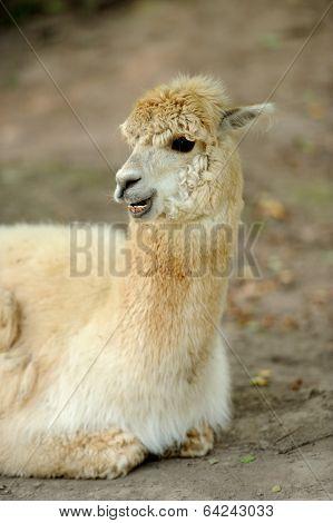 Lama On Farm