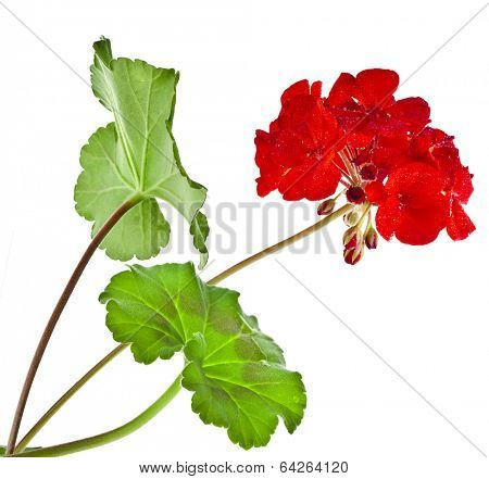 Zonal Geranium Flowers with copy space for text on white background