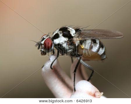 Fly on flower macro - Anthomyia
