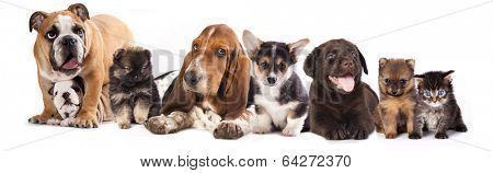 Basset Hound and corgi, labrador, dog,  pomeranian puppies