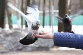 Doves feeding and balancing on woman's hand poster