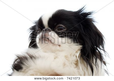 Head Of Japanese Chin Puppy