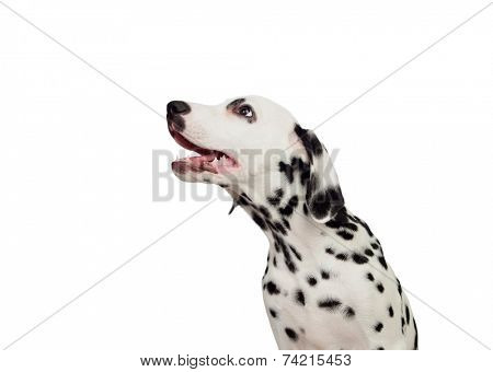 Beautiful Dalmatian with black spotted isolated on white background poster