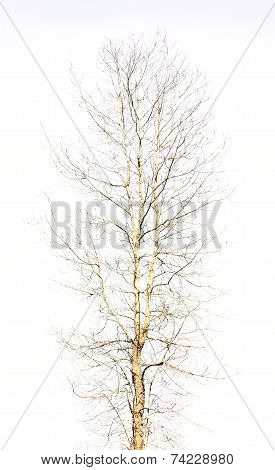 Naked Tree On Isolated White Background