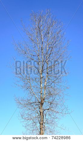 Naked Tree On Blue Sky