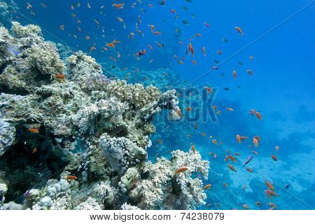 coral reef with soft and hard corals with exotic fishes anthias on the bottom of tropical sea