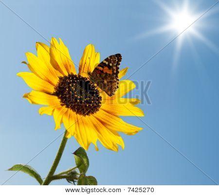 蝴蝶在向日葵上