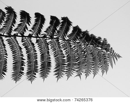 Black And White Silver Fern