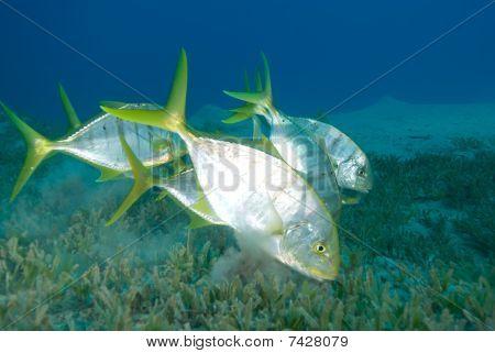 Golden Trevally Swimming Over Sea Grass