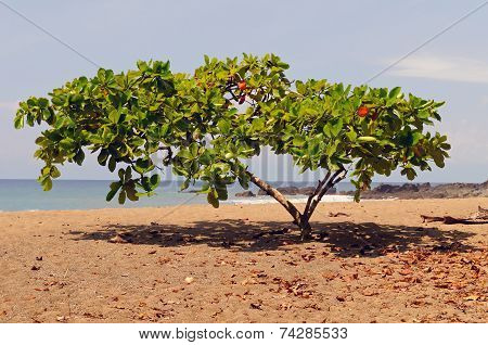 Shade Tropical Tree On A Pacific Coast