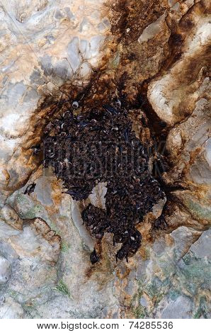Large Colony Of Greater Mouse-eared Bats (myotis Myotis)