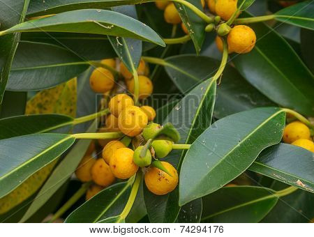 Australian Native Small Leaf Fig Tree Ficus Oblique
