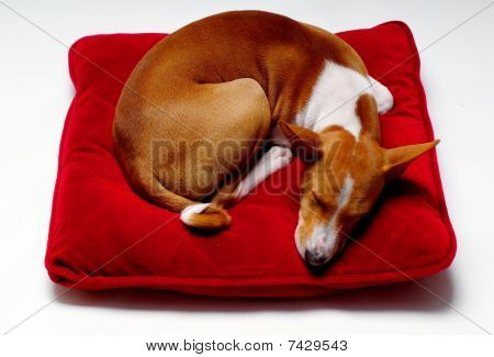 sleeping dog basenji on the red pillow on white poster