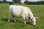 White Park Cattle, cow grazing, British Rare Breed, UK. poster