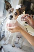 Cute Jack Russell Terrier Getting a Bath in the Kitchen Sink. poster