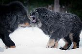 Tibetan Mastiff puppy dog playing in the snow portrait poster