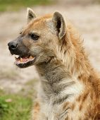 Profile of an Alert hyena looking for pray poster