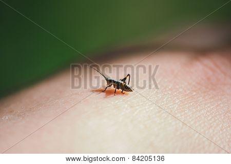 Grasshopper On Skin