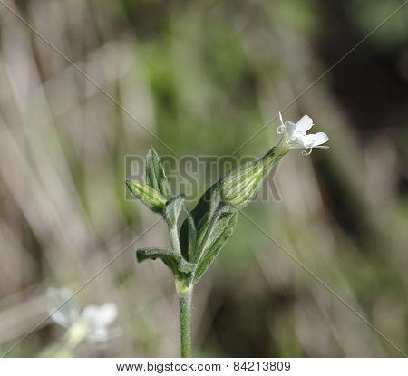 Macro of Melandrium album (or Silene latifolia) flower poster