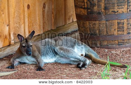 Australian kangaroo escaping the heat by sitting in the shade. poster