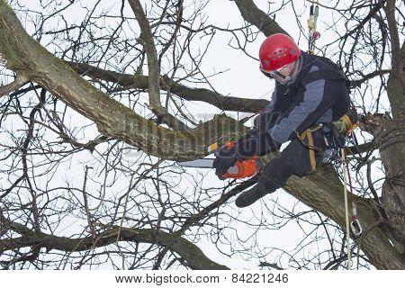 An arborist using a chainsaw to cut a walnut tree, dangerous work