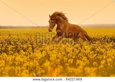 Beautiful strong horse galloping, jumping in a field of yellow flowers of rape against the sunset.