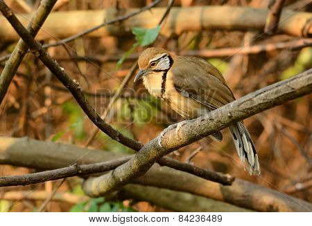 beautiful Greater Necklaced laughingthrush (Garrulax pectoralis) in Thai forest poster
