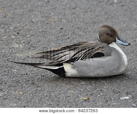 Northern Pintail Duck (Anas acuta)