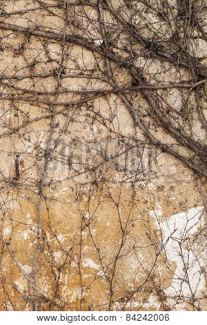 Dry trunks and branches creepers without ivy leaves on an old stone wall paints