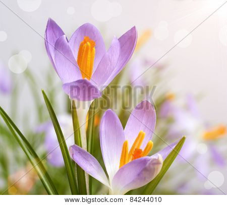 The First Spring Flowers, Crocuses