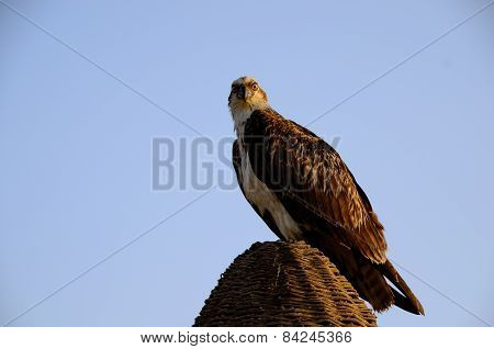 Sea Eagle Sitting And Looking
