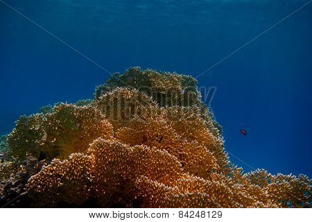 Yellow Coral And Blue Sea