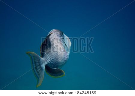 Yellowmargin Triggerfish And Blue Sea