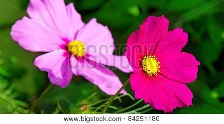 Pink Cosmea Flowers.