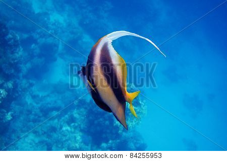 red sea pennant fish in the sea when diving