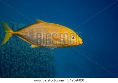 lemon yellow mackerel fish in the sea