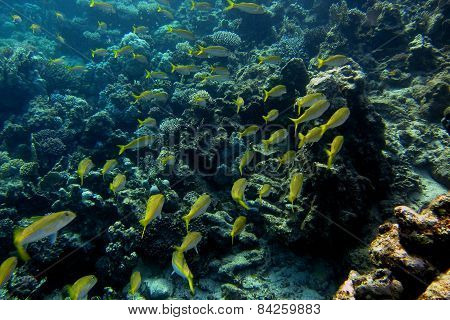 many yellow white fish in the sea when diving