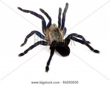 Cobalt Blue Tarantula