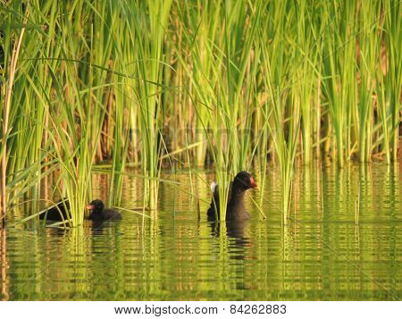 The Common Moorhen With Ducklings In The Reeds