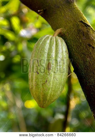 Cocoa Cacao pods on tree branch